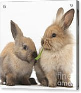Sandy Rabbits Sharing Grass Acrylic Print