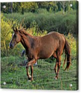 Sandy The Roan - C0058b Acrylic Print