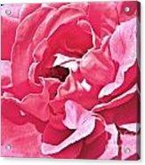 Sandys Pink Rose Frills Acrylic Print