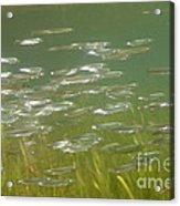 Sardines Acrylic Print