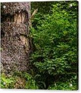 Sasquatch Rubbing Tree Acrylic Print