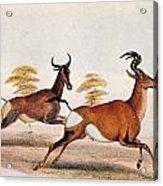 Sassaby And Hartebeest, Acrylic Print