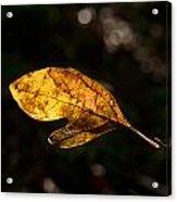 Sassafras Leaf Glowing Acrylic Print