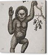 Satyrus, Ourang Outang. Pongo Or Jocko Acrylic Print