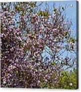 Saucer Magnolia Or Tulip Tree Magnolia X Soulangeana Acrylic Print