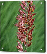 Savannah Ruby Grass Acrylic Print