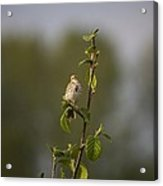 Savannah Sparrow Acrylic Print
