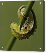 Sawfly Larva Acrylic Print