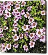 Saxifraga Oppositifolia Flowers Acrylic Print
