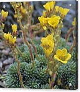 Saxifrage Flowers Acrylic Print