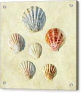 Scallop Shells Acrylic Print