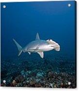 Scalloped Hammerhead Shark Acrylic Print