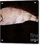 Scalloped Ribbonfish Acrylic Print