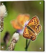 Scarce Copper Butterfly Acrylic Print
