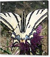 Scarce Swallowtail Acrylic Print