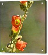 Scarlet Globe-mallow Acrylic Print