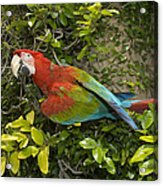 Scarlet Macaw Ara Macao Adult Perching Acrylic Print