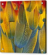 Scarlet Macaw Ara Macao Close-up Acrylic Print