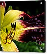 Scarlet Pimpernel Acrylic Print