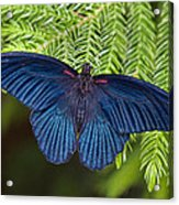 Scarlet Swallowtail Acrylic Print by Joann Vitali