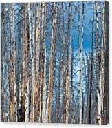 Scarred Pines Yellowstone Acrylic Print by Steve Gadomski