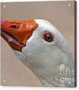 Scary Goose Acrylic Print