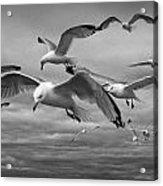 Sea Gull Scavengers Acrylic Print
