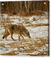 Scent Of A Doe Acrylic Print