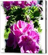 Scented Geraniums Acrylic Print