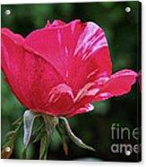 Scentimental Pink Acrylic Print