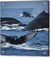 School Of Humpback Whales Acrylic Print