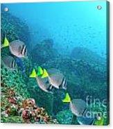 School Of Razor Surgeonfish On Rocky Seabed Acrylic Print by Sami Sarkis