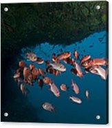 School Of Red Bigeye Under A Rocky Acrylic Print by Mathieu Meur