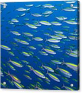 School Of Wide-band Fusilier Fish Acrylic Print