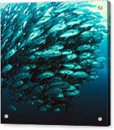 Schooling Jackfish Acrylic Print