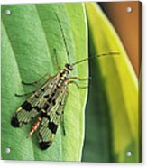 Scorpion Fly Acrylic Print