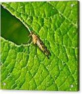 Scorpion Fly Nosing Around Acrylic Print