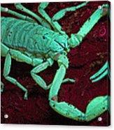Scorpion Glows In Uv Light Costa Rica Acrylic Print