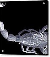 Scorpion, Sem Acrylic Print