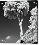 Scots Pine Tree Acrylic Print