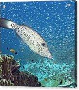 Scribbled Filefish Acrylic Print