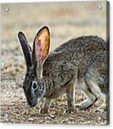 Scrub Hare Acrylic Print