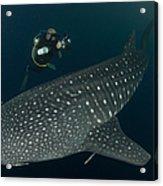Scuba Diver And Whale Shark, Papua Acrylic Print
