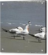Sea Birds Obx Nc Acrylic Print