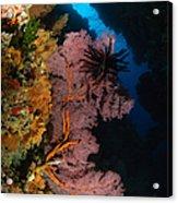 Sea Fans And Crinoid, Fiji Acrylic Print