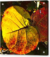 Sea Grape Leaves Acrylic Print