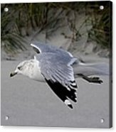 Sea Gull Searching Acrylic Print