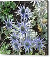 Sea Holly Acrylic Print