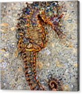 Sea Horse Acrylic Print by Jenny Ellen Photography