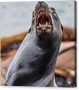 Sea Lion Agony Acrylic Print